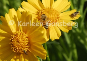 2 bees and a spider on Coreopsis flowers