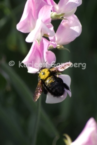 Carpenter Bee on Sweet Pea Flower